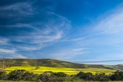 Mustard bloom near Half Moon Bay (tree007) Tags: california flower mustard bloom highway1