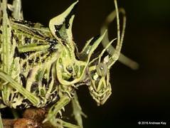 Markia hystrix or arizae? (Ecuador Megadiverso) Tags: book flickr grasshopper katydid lichenkatydid loscedros markiahystrix noah orthoptera phaneropterinae tettigoniidae andreaskay ecuador markiaarizae