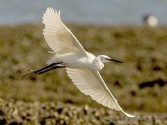 Little Egret in flight 30/08/16 (johnatkins2008) Tags: littleegret flight flying wildlife wildlifephotography birdsinflight titchwellmarsh norfolk coastal johnatkins2008