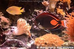 Achilles Doktersvis - Acanthurus achilles - Achilles surgeonfish (MrTDiddy) Tags: achilles doktersvis acanthurus surgeonfish dokter dokters vis surgeon fish tang auatopia antwerpen
