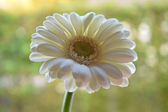 Pure and simple ... (Maria Godfrida) Tags: nature flowers gerbera white whiteflower pure simple closeup