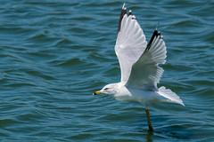 And We Have Liftoff ! (MelRoseJ) Tags: sanrafael california unitedstates sonyalpha sal70400g sonyilca77m2 sony a77ii autofocus alpha nature northerncalifornia seagull bayarea birds lasgallinas