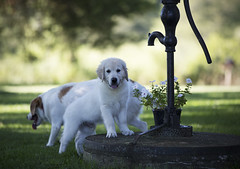 HankWell (TaylorB90) Tags: taylor bennett taylorbennett canon 5d 5d3 7020028isii 70200 28 is ii 135l 135mm sharp golden retriever puppy goldenretriever goldenretrieverpuppy hank hoyt play cute animals puppies dogs farm