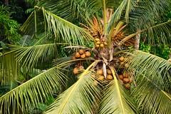 Fruits of Kerala (The Spirit of the World) Tags: coconuts tree fruit backwaters kerala nature india southernindia paradise tropical watersedge shore shoreline