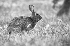 BW Rabbit -2808 (Orkakorak) Tags: bw wild animals rabbit rabbits