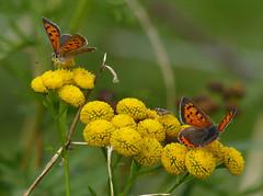 Kleine vuurvlinder (capreolus) Tags: kleinevuurvlinder smallcopper lycaenaphaeas boerenwormkruid tansy moth insects sultansmeer holland