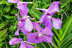 Vanda Bangkok Beauty (chooyutshing) Tags: flowers orchids vandabangkokbeauty orchidextravaganza floraldisplay flowerdome gardensbythebay baysouth marinabay singapore