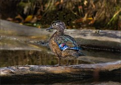 Wood Duck (Aix Sponsa), female (canuckguyinadarkroom) Tags: woodduck duck bird nature