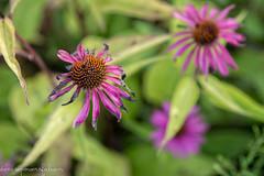 Final Days (Denise @ New Mercies I See) Tags: 2016 august summer flowers coneflowers echinacea purple nature outdoors summitmetropark onethousandgifts dof akron summitcounty decay