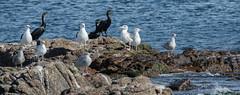 Birds on rock (Flemming Andersen) Tags: nature animal birds outdoor fugle rocks gudhjem capitalregionofdenmark denmark dk