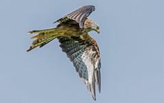 DSC5909  Red Kite.. (jefflack Wildlife&Nature) Tags: redkite kite kites birds avian wildlife wildbirds raptors birdsofprey heathland hawks farmland countryside nature