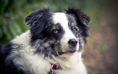 The Dog! ( - Ralf) Tags: dog hund agility eyes outdoor animal