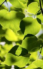 Leaves and Shawdows (photographyguy) Tags: denver colorado leaves green shadows summer backlit