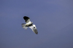 White-tailed Kite (tmikkphoto) Tags: california places sacramentovalley