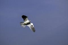 White-tailed Kite (tmikkphoto) Tags: california places sacramentovalley