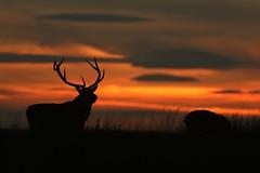 "Deer In The Afterglow ""Explored"" (Derbyshire Harrier) Tags: silhouette afterglow 2016 peakdistrict peakpark moorland rspb reddeer nationaltrust orange hinds derbyshire rut september easternmoors autumn explore explored"