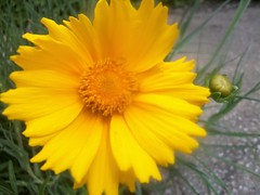 Spread the happiness (candiceshenefelt) Tags: flora yellow yellowflower flower garden happiness love pretty
