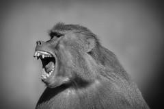 Who's the boss? (Paulo Bretas) Tags: babuno animal animals nature natureza macaco monkey ngc sorocaba sopaulo brazil brasil sigma nikon d5100 nikond5100 sigma70300 hallo haloween black white new