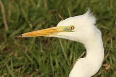 Grote zilverreiger - Ardea alba - Great egret (merijnloeve) Tags: grote zilverreiger ardea alba great egret heron wihite witte reiger vogel bird birds