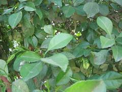 Lemon tree (mani_bhaskar23) Tags: lemon tree