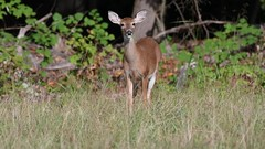 White-tailed Fawn at Big Brook (RGL_Photography) Tags: whitetaileddeer odocoileusvirginianus fawn monmouthcounty jerseyshore mothernature wildlife wildkingdom nature deer nikond500 nikonafs200500mmf56eedvr animalkingdom animals bigbrookpark