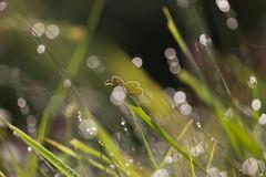 Scaldata dal sole ((Raffaella@)) Tags: grass farfalla butterfly luce light mattina insetto insect sole sun sunlight macro canon canon550d bokeh