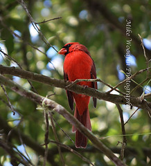 Cardinal (Mike Woodfin) Tags: mikewoodfin mikewoodfinphotography photo picture photography photograph photos photoshop pretty nikon nature canon contrast color cool fuji florida fl fall cardinal bird birds aviary flight green red tree branches valrico striking beautiful gorgeous male