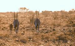 Sun Rising (perkster24) Tags: oryx wild wildlife wildlifephotography sunrising kenya samburu samburunationalpark samburunationalreserve gamedrive africa african nature naturephotography conservation