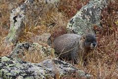 Marmota flaviventris (dhobern) Tags: rockymountainnationalpark colorado usa september 2016 mammalia rodentia sciuridae marmota flaviventris