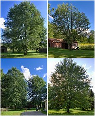 Our Beautiful Maple Trees (genesee_metcalfs) Tags: collage september summer nature outdoors trees maple