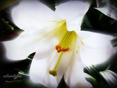 flowerglow (calamityjan2008) Tags: flower lily whiteflower whitelily easter lilyflower glowglowing flowereaster