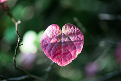 Heart (Pittypomm) Tags: heart shaped leaf red green autumn westonbirt arboretum