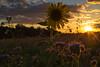 Caminar Anoche (Renate Bomm) Tags: hürth nordrheinwestfalen deutschland renatebomm canoneos6d ef50mmf14 sunset sky wolken sun sonne clouds flickrunitedaward golden goldengallary phacelia bienenfreund rainfarnphazelie gründünger hydrophylloideae automne herbst natur nature lit hintergrundbeleuchtung backlit beautifulcapture atadecer goldenvisions visiongroup thegoldendreams 2016onephotoeachday