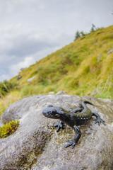 Salamandra atra in its environment (Michele Remonti) Tags: salamandraatra salamandra salamandraalpina orobie alpi alps pentax k3ii pda 1017 fisheye