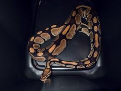 cocoa glow (274/366) (severalsnakes) Tags: cocoa mx1 missouri pentax saraspaedy sedalia animal ballpython python reptile serpent snake