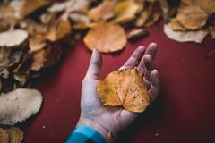IMG_7424 (bikutori) Tags: canon canon500d 30mm 500d 14 sigma30mm sigma autumn beautiful bokeh forest leaf sheets hand yellow orange russia 2016 voronezh blue red