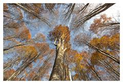 Cansiglio_DSC0245 (Roberto Andreato) Tags: italia italy europe europa bosco colori alberi autunno nikon nikond90 cielo prospettiva