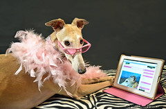 It's Not Easy Being An Internet Star (houndstooth4) Tags: dog greyhound bunny day93 day93365 ourdailychallenge 3652013 dogchal 365the2013edition 03apr13