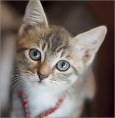 Andy (rexboggs5) Tags: andy kitten flickrchallengegroup flickrchallengewinner thepinnaclehof tphofweek202