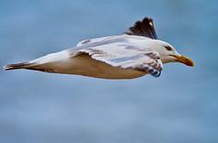 Herring gull in flight, Dungeness, Kent, UK (Mr Bennett Kent (Back from Mull and back to work!)) Tags: nature closeup canon kent mr wildlife 7d birdsinflight bennett bif dun birdinflight 100400 canon100400mm canon7d mrbennettkent mbkwildlifephotography