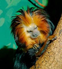 Golden Headed Lion Tamarin WLD_4305 (guppiecat) Tags: wallpaper leontopithecuschrysomelas goldenheadedliontamarin