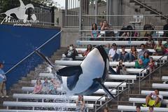 (Megakillerwhales) Tags: dolphin malia dolphins whale whales orca beluga seaworld kayla shamu belugas killerwhale orcas tilly killerwhales katina tolly orcawhales nalani dolphinshow seaworldorlando bluehorizons shamushow orcawhale trua tillikum nikond3100 makaiko nalanidreamer megakillerwhales