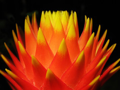 Enchanted by Chimney-Fire (Batikart) Tags: red summer orange plants plant black flower macro rot nature yellow closeup canon germany geotagged deutschland flora europa europe blossom decorative natur pflanze growth exotic gelb flowering bromeliaceae makro ursula blte flaming bromelia 2010 blooming a610 sander fellbach blazing badenwrttemberg blhen exotisch canonpowershota610 darkbackground 100faves guzmania 2013 guzmaniaconifera viewonblack batikart bromeliengewchse