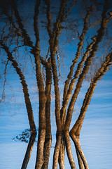 Tree Reflection (A. Aleksandraviius) Tags: macro reflection tree ex nikon sigma down apo ii 70200 f28 upside dg 70200mm hsm d700 nikond700