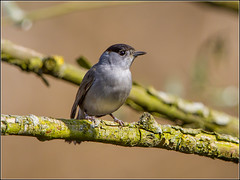 Blackcap (Linton Snapper) Tags: bird birds canon suffolk warbler lackfordlakes blackcap lintonsnapper
