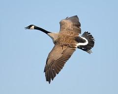 2013-04-20 Almond Marsh 3 (JanetandPhil) Tags: birds nikon birdsinflight nikkor canadagoose brantacanadensis d800 almondmarsh forestpreserves lcfpd lakecountyforestpreservedistrict wildwoodil 2013forestpreservesvariouslocations