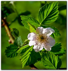 Boysenberry Flower, Spring green (Kat~Morgan) Tags: flower green leaves d80nikon boysneberry