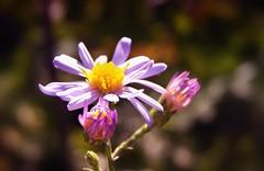 Little-Wild-Flower