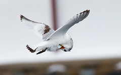 Kittiwake (juvenile) in-flight preening
