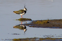 Northern Lapwing - Kievit (Roland B43) Tags: birds kievit northernlapwing uitkerke mygearandme mygearandmepremium mygearandmebronze mygearandmesilver flickrstruereflection2 flickrstruereflection3 flickrstruereflection5 flickrstruereflection6